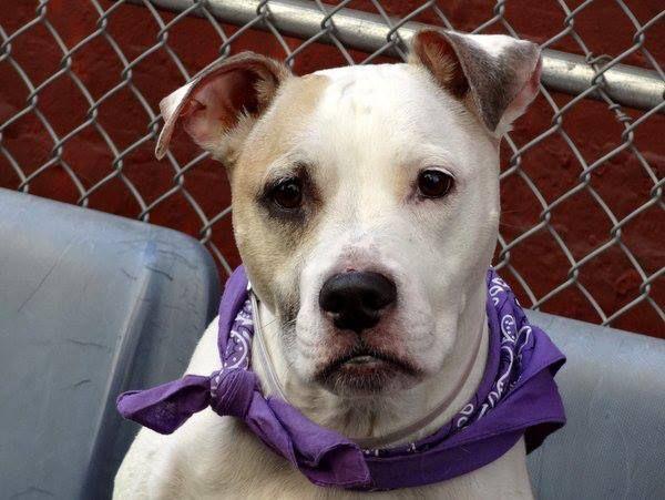 Manhattan Center Jezz A0963754 Helper Dog Spayed Female