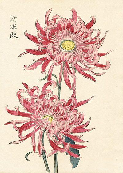 Keika Hasegawa Chrysanthemum Wood Block Prints 1st Edition 1893 Japanese Chrysanthemum Japanese Tattoo Chrysanthemum Tattoo