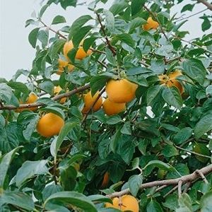 Amazon De Pflanzenservice Exotischer Obstbaum Kaki Kakipflaume