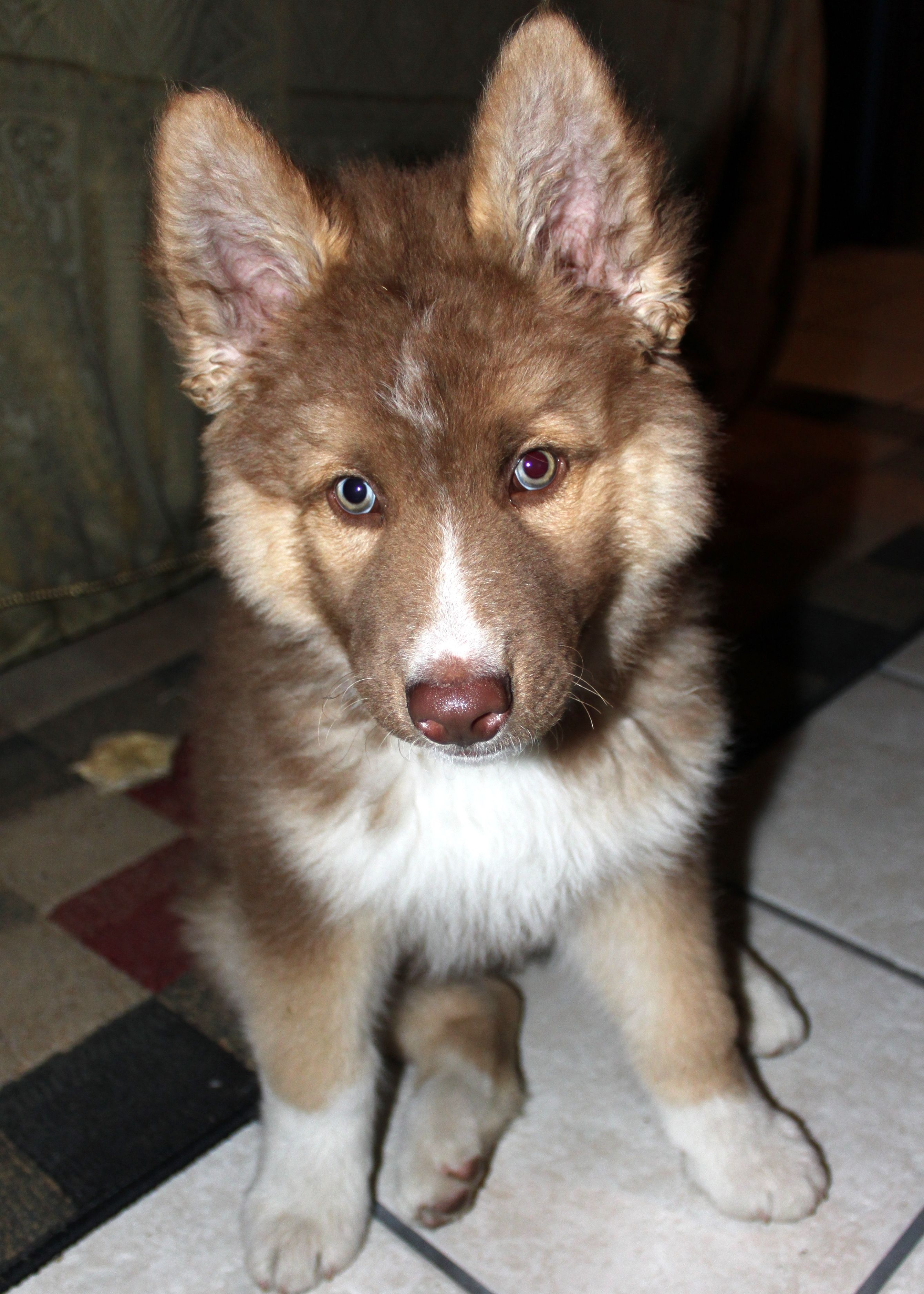 Thor My Half Siberian Husky Half German Shepard Puppy At 4 Months German Shepard Puppies Your Dog Pet Care Dogs