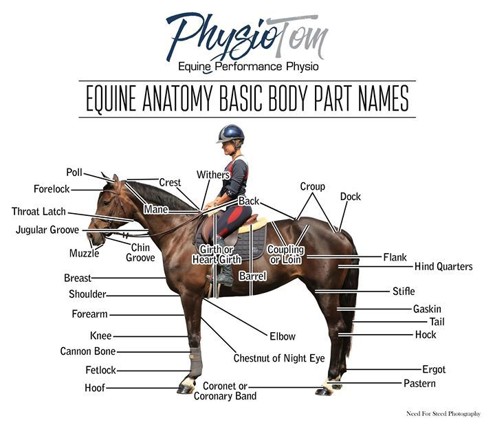 basic anatomy of the horse by physiotom | Equine Performance Physio ...