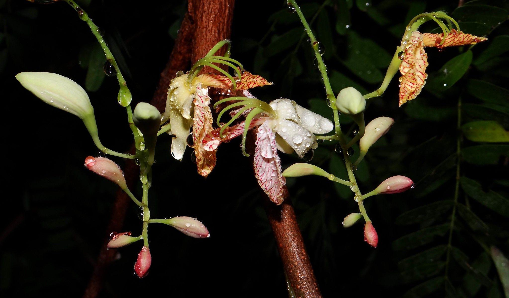 Tamarind 7 Thai Sweet Flower 5 Bengali ত ত ল Tamarind Flowers