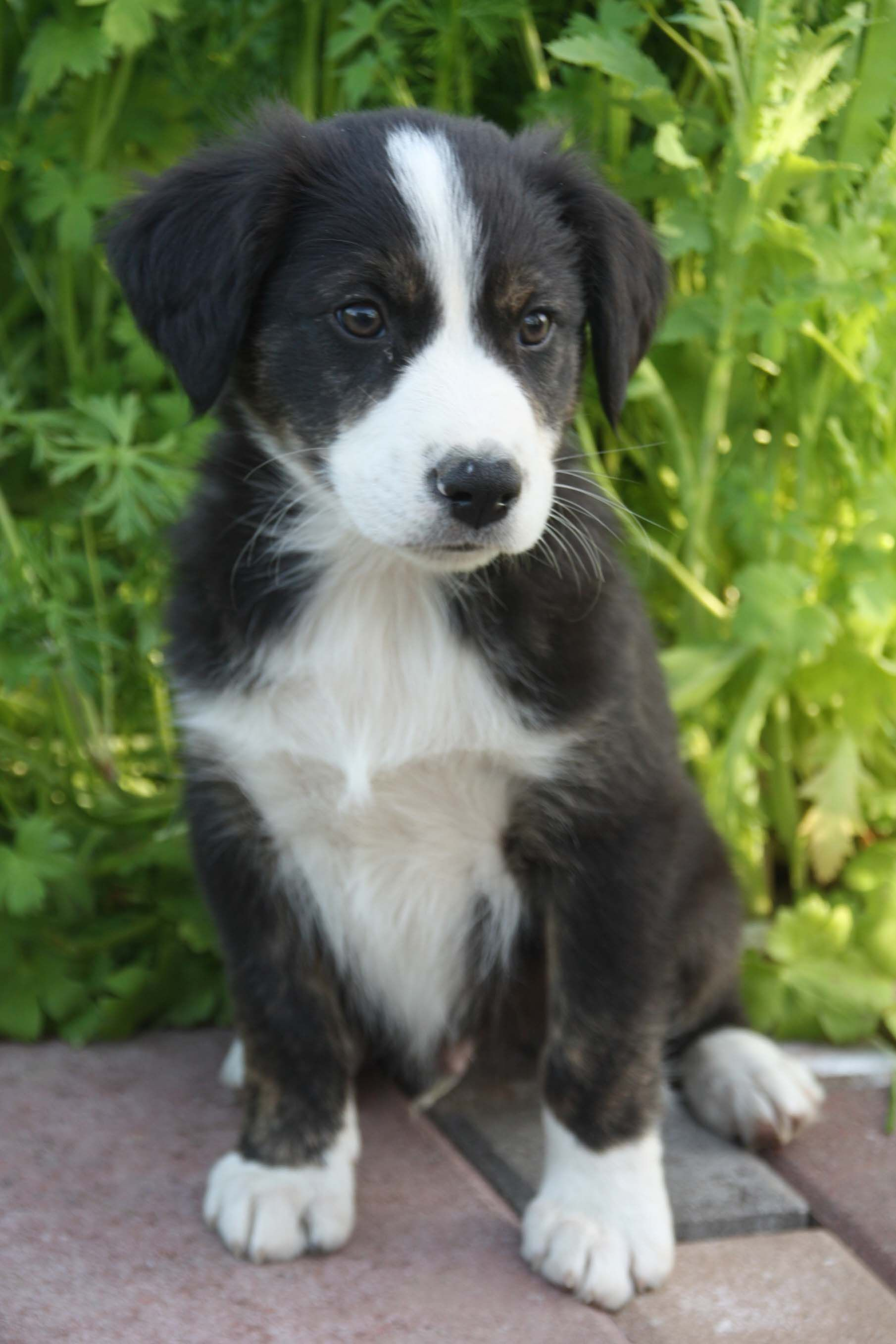 Pin By Tracey Campbell On Puppy English Shepherd English Shepherd Puppy English Coonhound