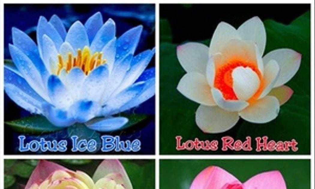 Foto Bunga Water Lily 4 Biji Benih Bunga Teratai Lotus Mix Lotus Flower Water Lily White Gambar Bunga Teratai Animasi Clipa Bunga Gambar Bunga Bunga Teratai