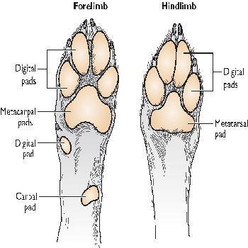 http www answers com topic footpad Dog Pad Footpad