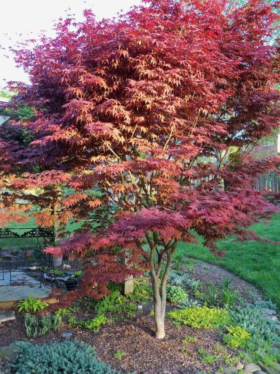 Japanese Maple Tree Landscaping Ideas Japanese Maple Tree