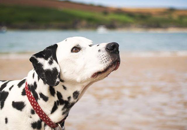 My boy ❤️❤️❤️ #dalmatian #nikon