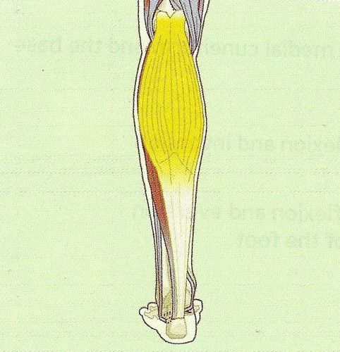 Nasm Muscles Origins And Insertions Flashcards Quizlet Flashcards Muscle Study Tools