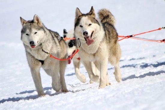 More About Sled Dog Breeds Dog Breeds Dogs Husky