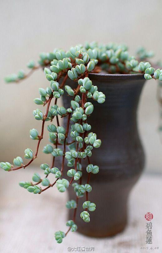 Lampranthus maximiliani (not Braunsia!) #plantingsucculents