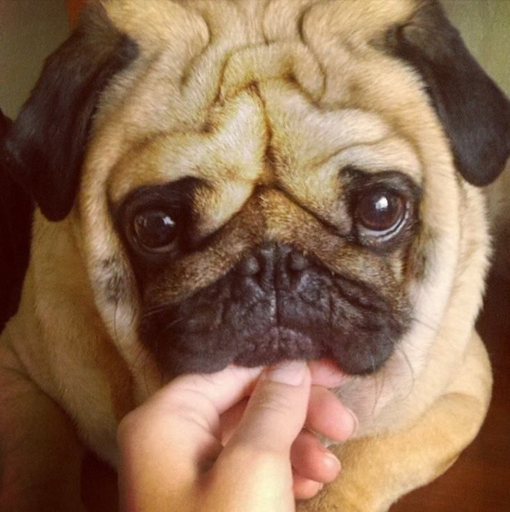 The 19 Most Squishable Dogs On Instagram Baby Pugs Cute Pugs Pugs