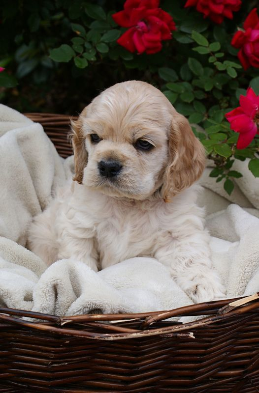 Lil Wranglers Nursery Spaniel Puppies Cute Dogs Puppies
