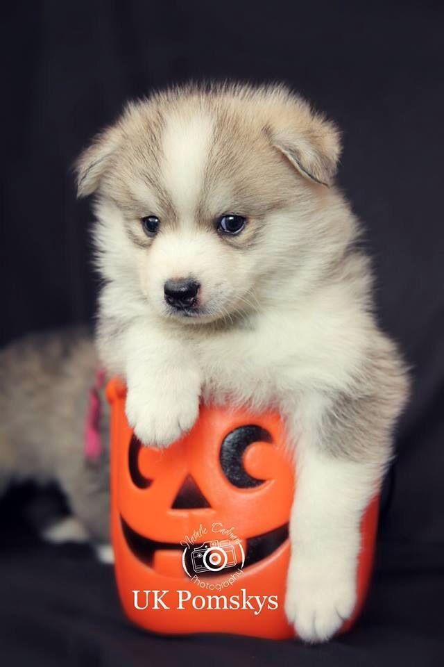 Pomsky Adorable Cute Welpen Hunde Tiere
