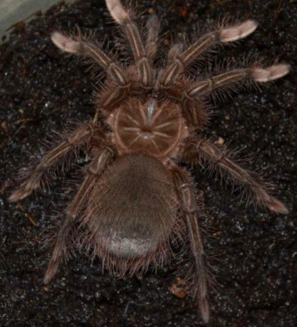 Burgundy Goliath Bird Eating Tarantulas Medium Spider