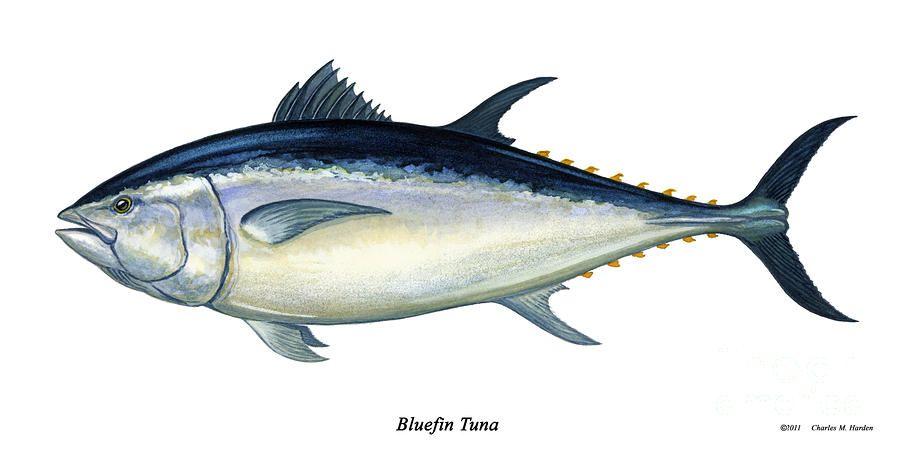 Tuna Drawing Bluefin Tuna Painting By Charles Harden