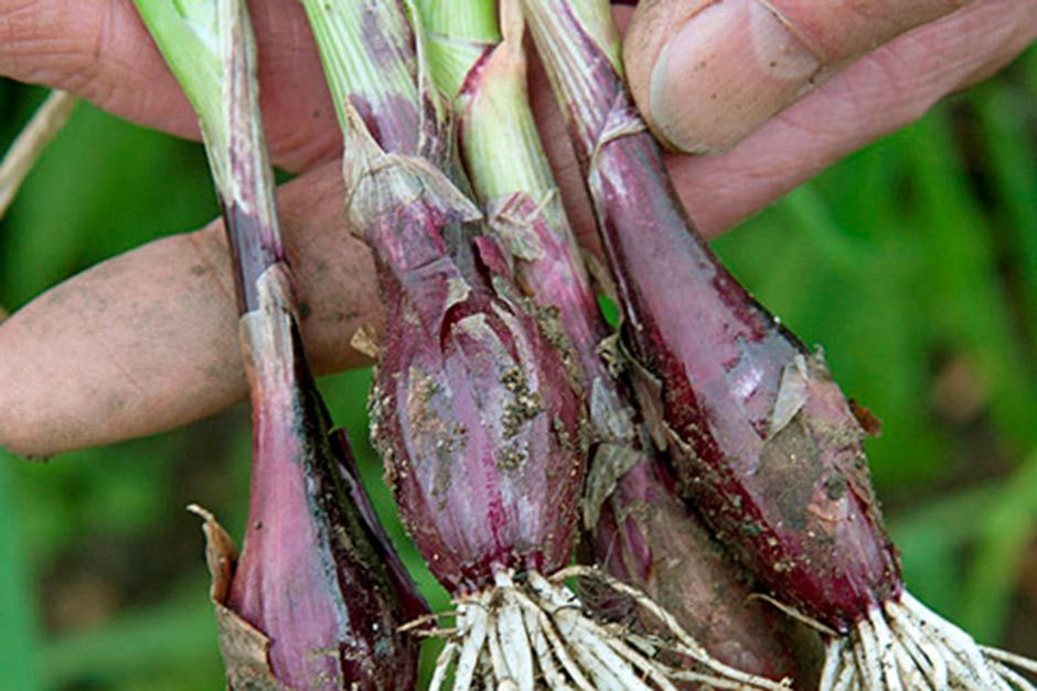 How To Grow Salad Onions Rhs Gardening In 2020 Salad Onion