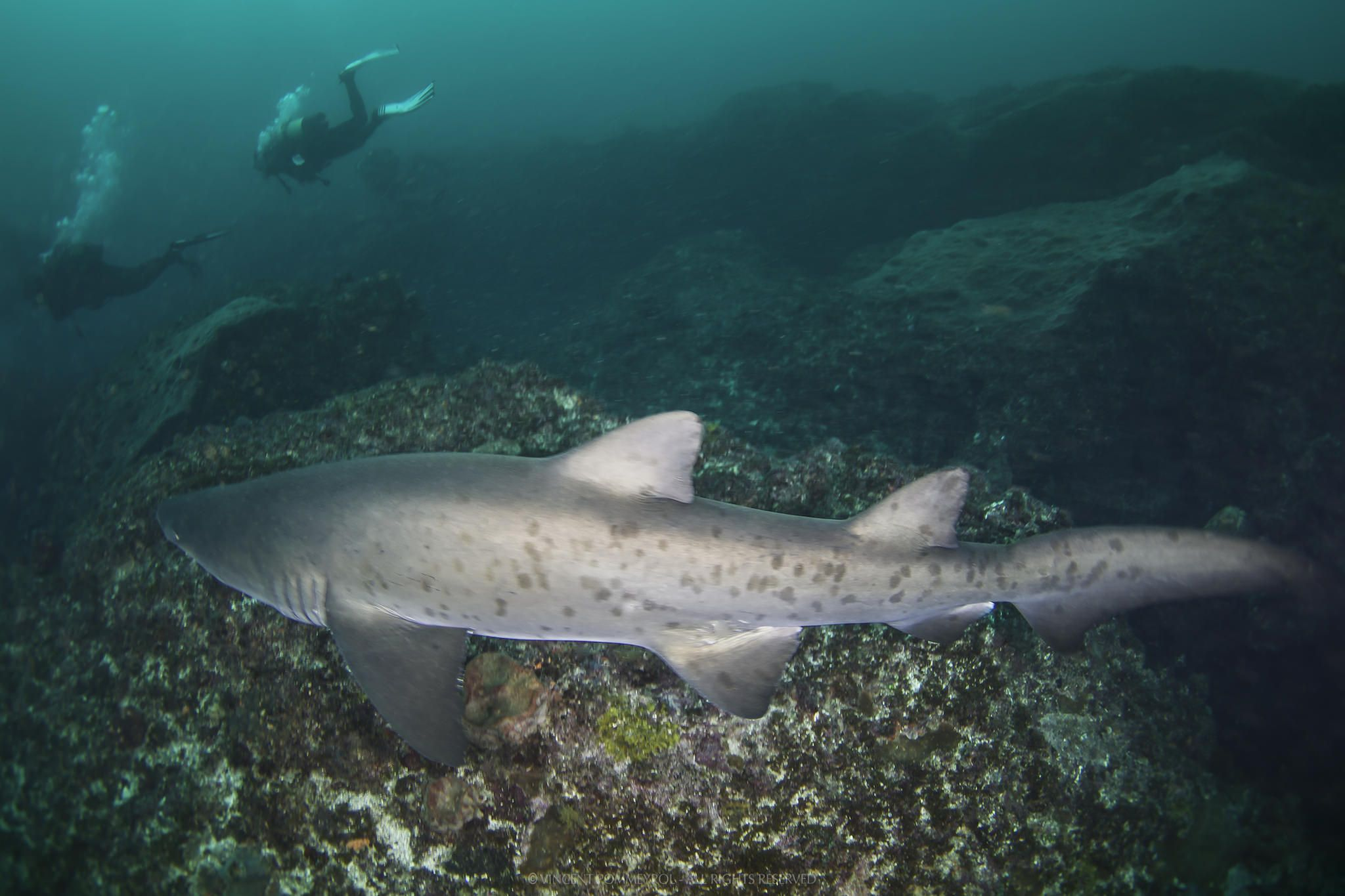 https://flic.kr/p/VPKNEN | Carcharias taurus | Sand tiger shark - Requin taureau (Carcharias taurus) South Africa.  UNDERWATER & NATURE PHOTOGRAPHY - For Art Prints and Download