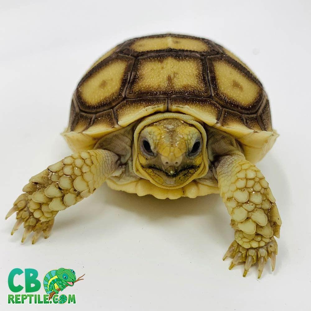 Tortoise For Sale Buy Baby Tortoise Hatchlings For Sale Online Near Me Sulcata Tortoise For Sale Sulcata Tortoise Baby Tortoise