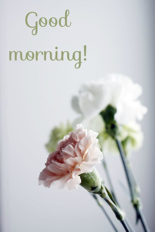 60 Most Beautiful Good Morning Images With Flowers Hindi Status Beautiful Flowers Love Flowers Carnation Flower