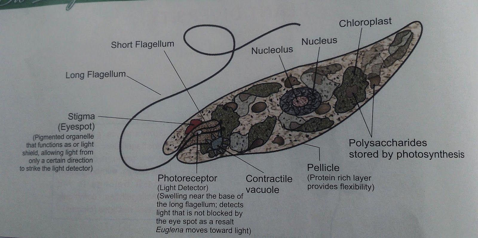 Euglena picture | Euglena | Pinterest