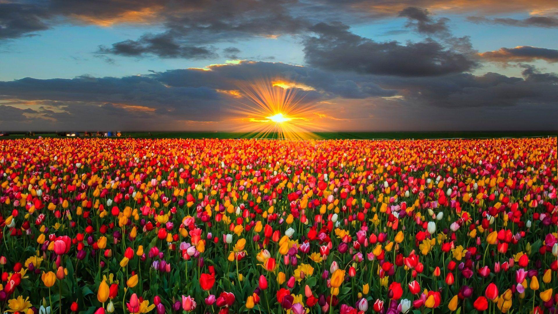 Spring Flowers Tulips Field Sunrise Grass Clouds: Last Moments Warmth Kemc Wooden Shoe Tulip Farm Oregon