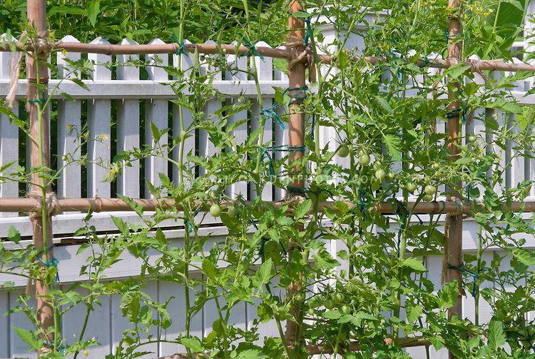 Trellis Of Tomato Vegetables Plants | Plant U0026 Flower Stock Photography:  GardenPhotos.com