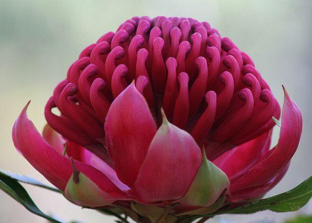 Waratah flower.
