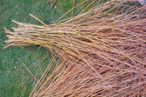 Weidenruten Korbflechterweide Salix Tipi Hecke Korbweide