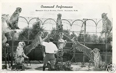 Real Photo of Tiger Performance at Benson's Animal Farm in