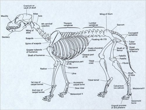 dog skeleton   coyote skeleton project