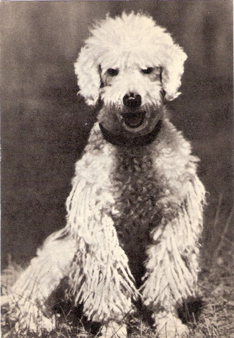 White Corded Poodle  #vintagepoodles