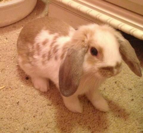 holland lop bunny | Tawas City | Michigan | Holland lop ...