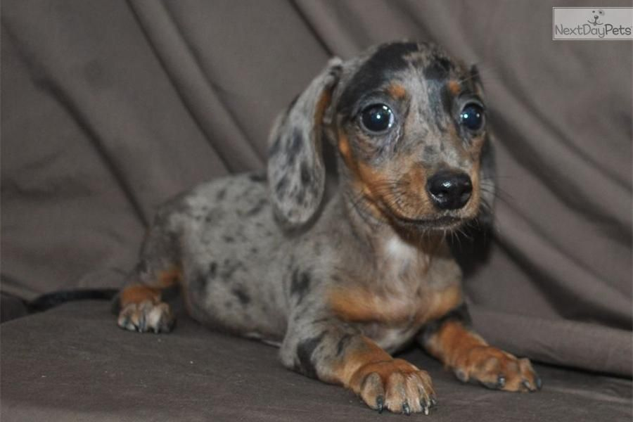 Lovely Kc Reg Clear Mini Long Haired Dachshund Long Haired