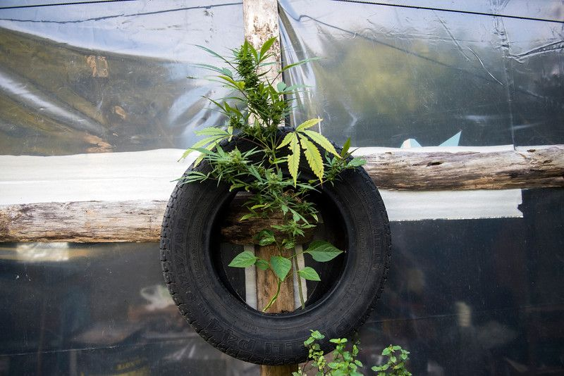 In this May 25, 2015 photo, a tire is used as a vessel for growing plants, including marijuana, in the Manga Rosa Social Club garden, in Montevideo, Uruguay. While the new law has brought many marijuana smokers out in the open, the clubs do have several strict regulations. (AP Photo/Matilde Campodonico)