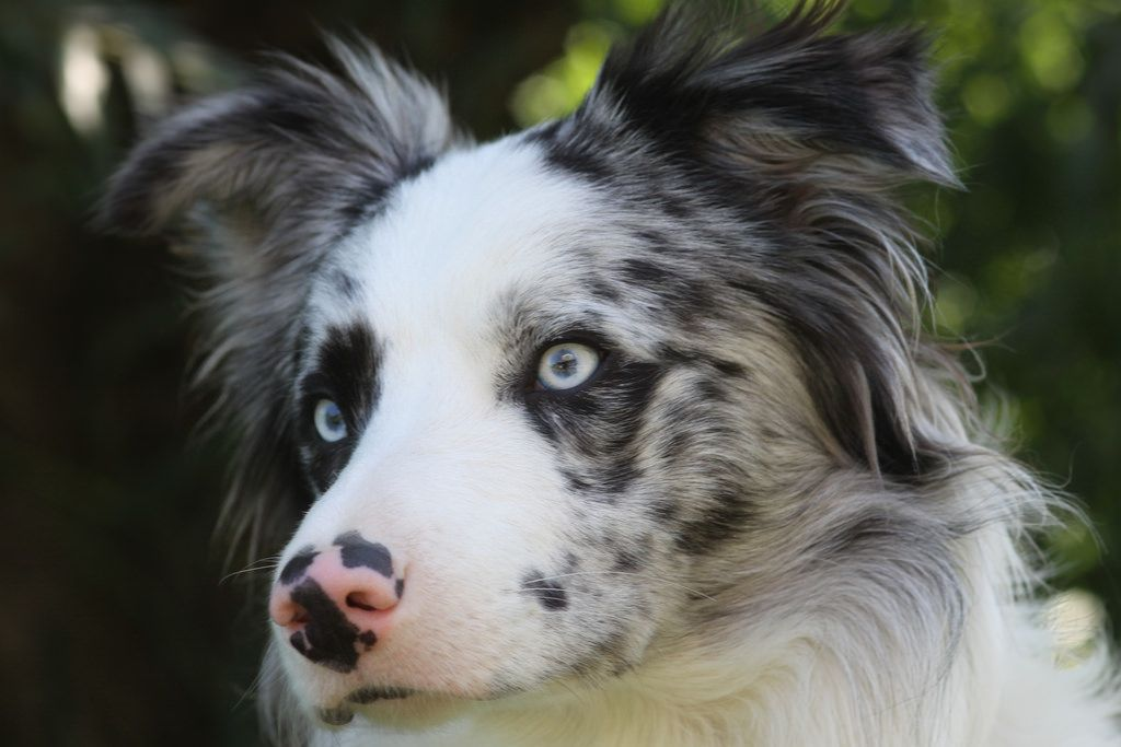 Jazz The Blue Merle Border Collie Blue Merle Collie Border Collie Blue Merle Blue Merle