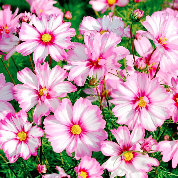 Cosmos Plants Capriola With Images Cosmos Plant Cosmos Flowers Plants