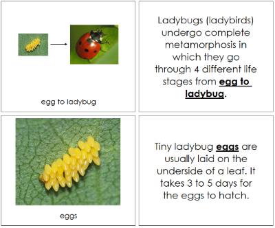 Ladybug Life Cycle Nomenclature Book Ladybug Life Cycle Life Cycles Bee Life Cycle