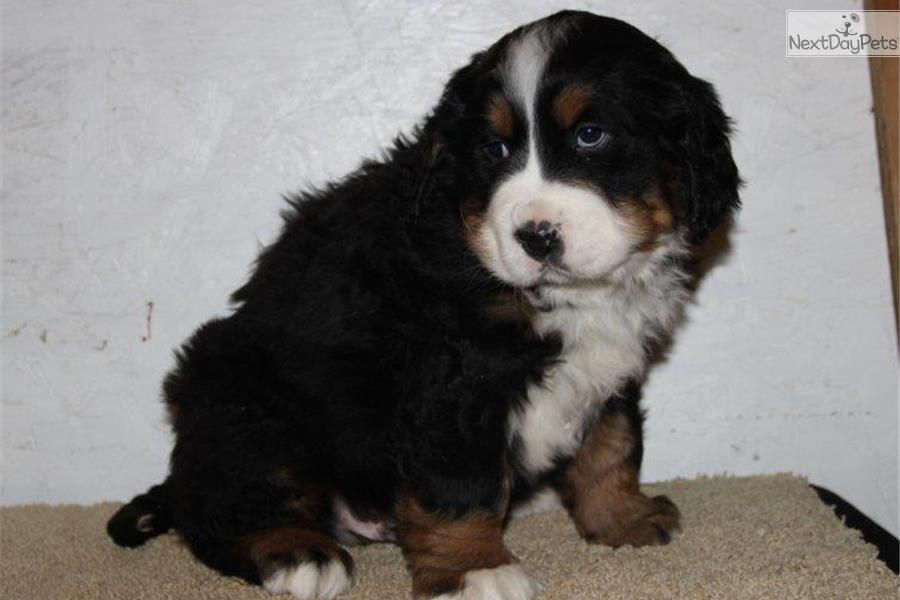 Bernese Mountain Dog puppy for sale near Lancaster, Pennsylvania | 5cb4f728-be51