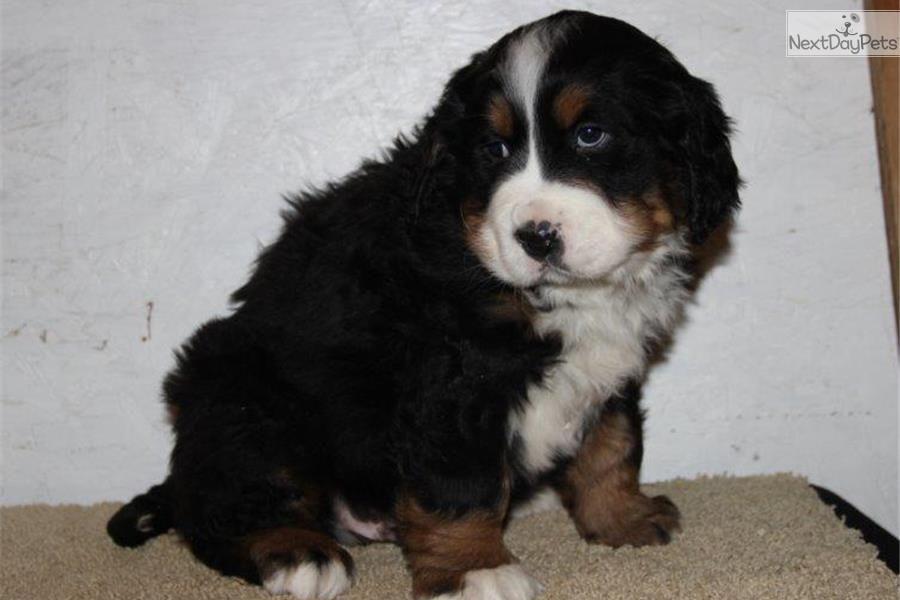 Bernese Mountain Dog puppy for sale near Lancaster, Pennsylvania | 5cb4f728-be51