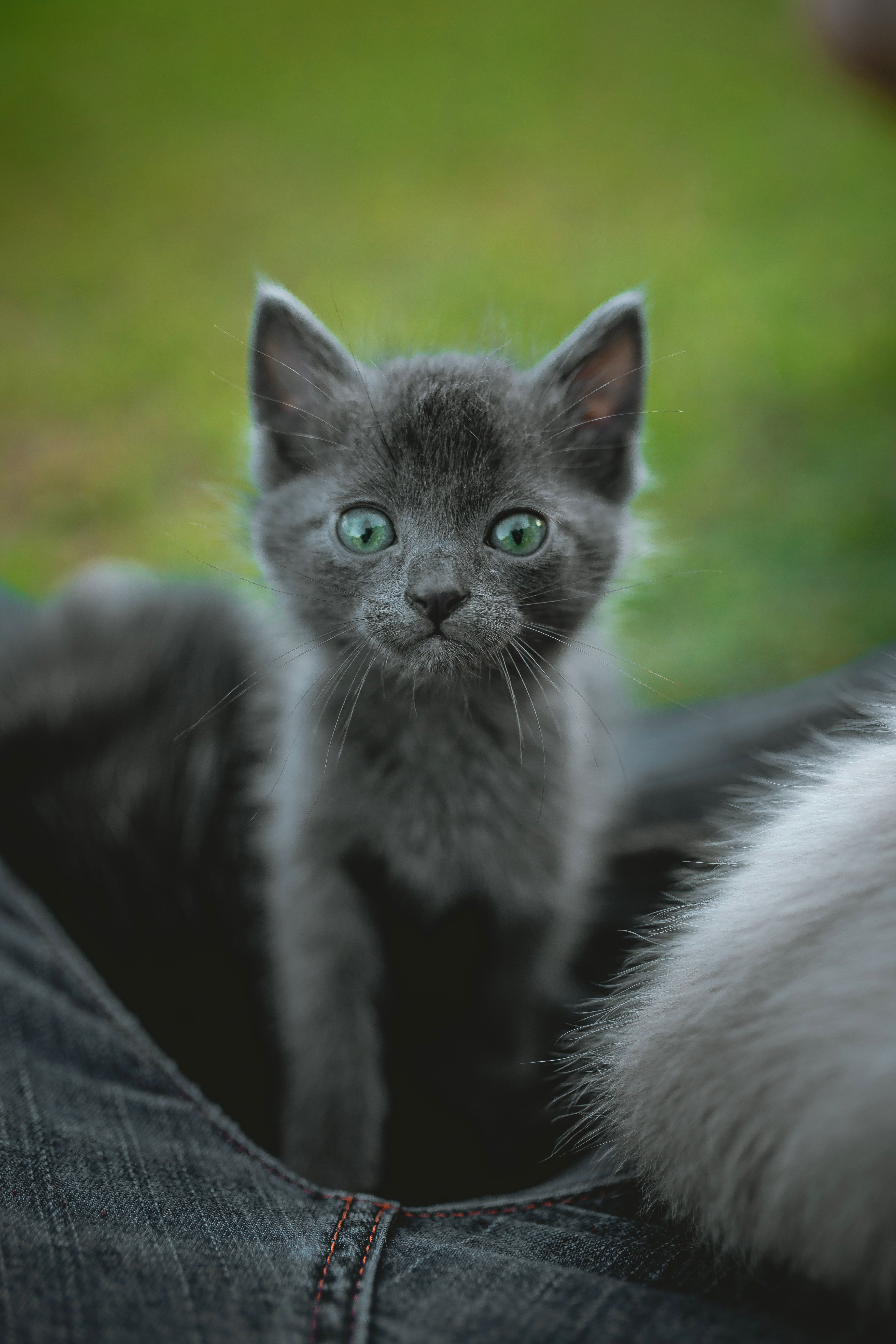 11 Amazing Facts About Cats Cat T Shirt Store In 2020 Grey Kitten Cat Facts Kitten Breeds
