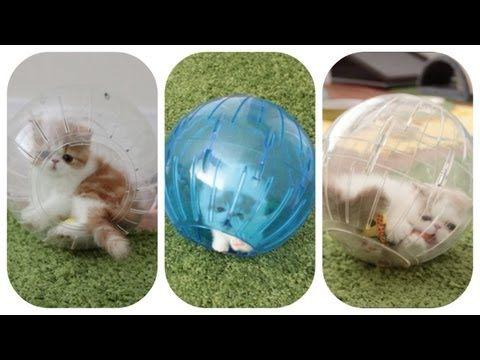 Kittens In Hamster Balls Cute Kitten Gif Kittens Playing Kittens