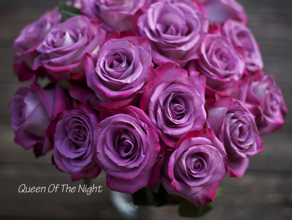 Queen of the Night Rose - a bi-color purple and magenta ...