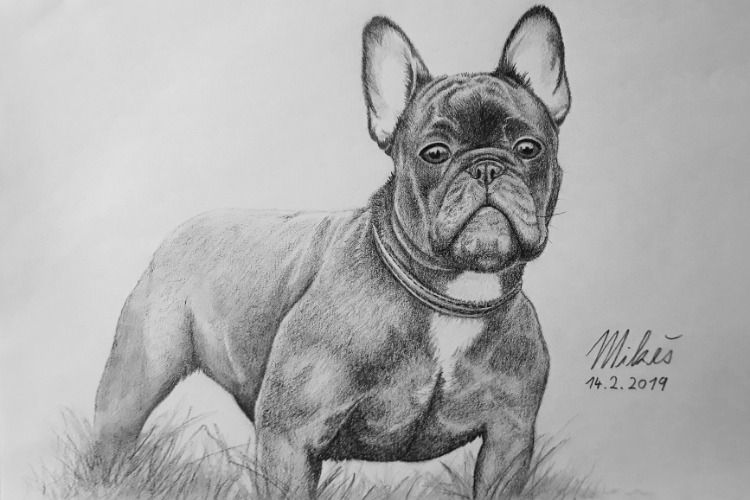 Drawing Of A French Buldog With Pencils Art Drawings