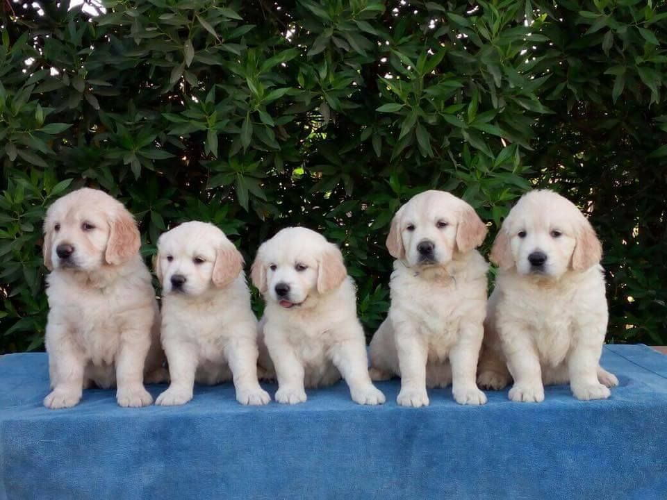 What To Look For When Buying A Golden Retriever H Find Golden