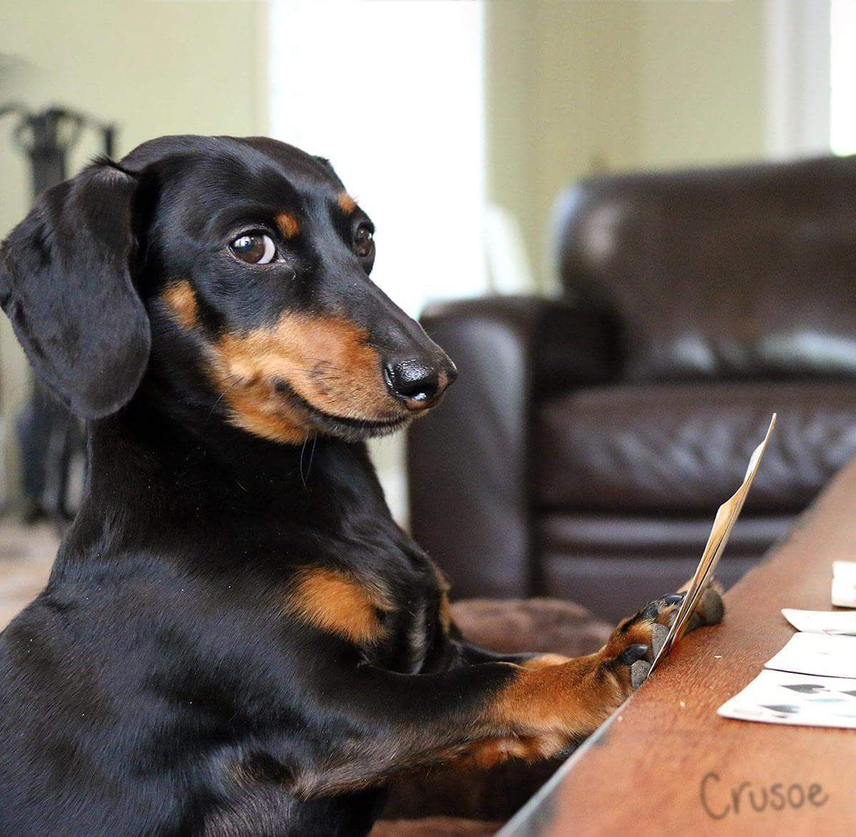 Pin By Roy Oakley On Dogs Dachshund Crusoe The Celebrity