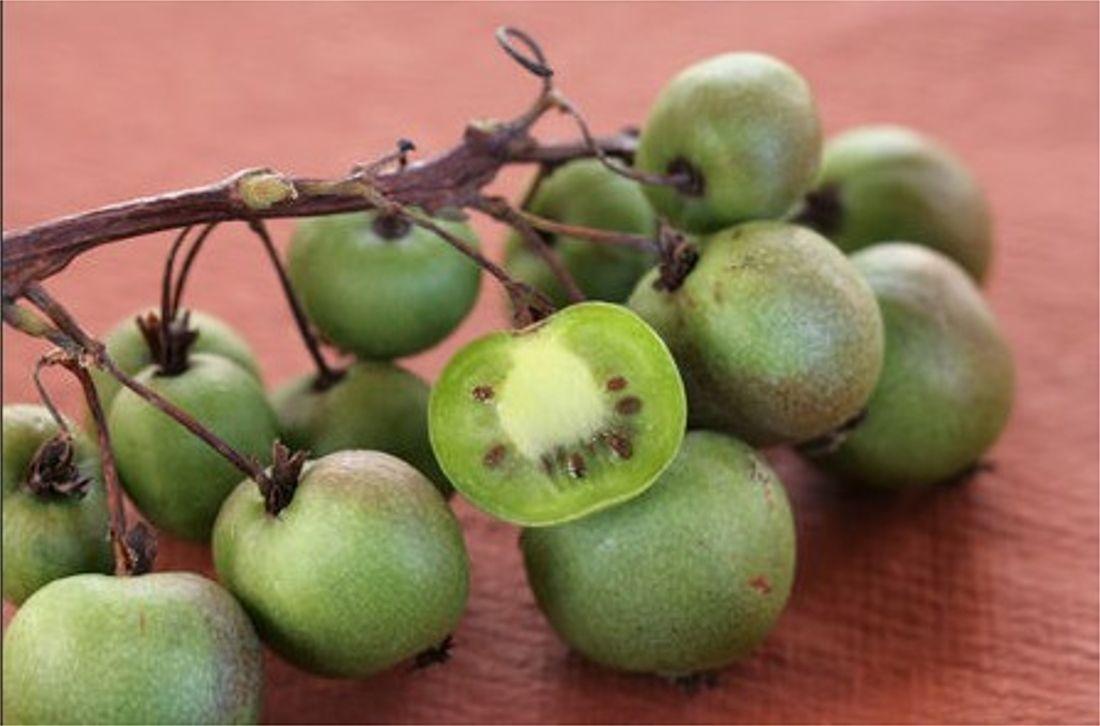 Le kiwaï est un fruit qui gagne du terrain en Belgique. Plus petit que le kiwi, il en possède les caractéristiques du goût et les apports en...