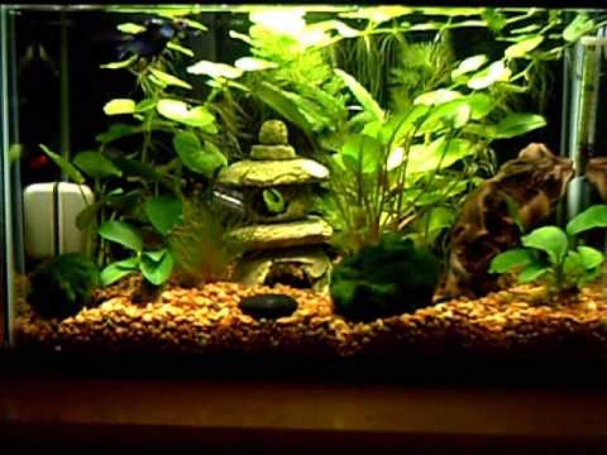 All glass aquarium fish tank - Male Crown Tail Betta Otocinclus Affinis Ottos Ghost Shrimp With Live Plants In A Gallon Tank 10 Watt Compact Florescent Light Anubias Barteri V B