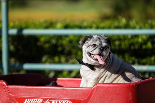 Dog in Wedding - Doggie Ring Bearer - Dog Wagon - Pug Wedding Party - Dog Bowtie - Tips to Include Dog in Wedding - Doggie Wedding Photos - Bride & Groom & Pets - Pet Portrait  #WeddingDog www.alexbrucephotography.net
