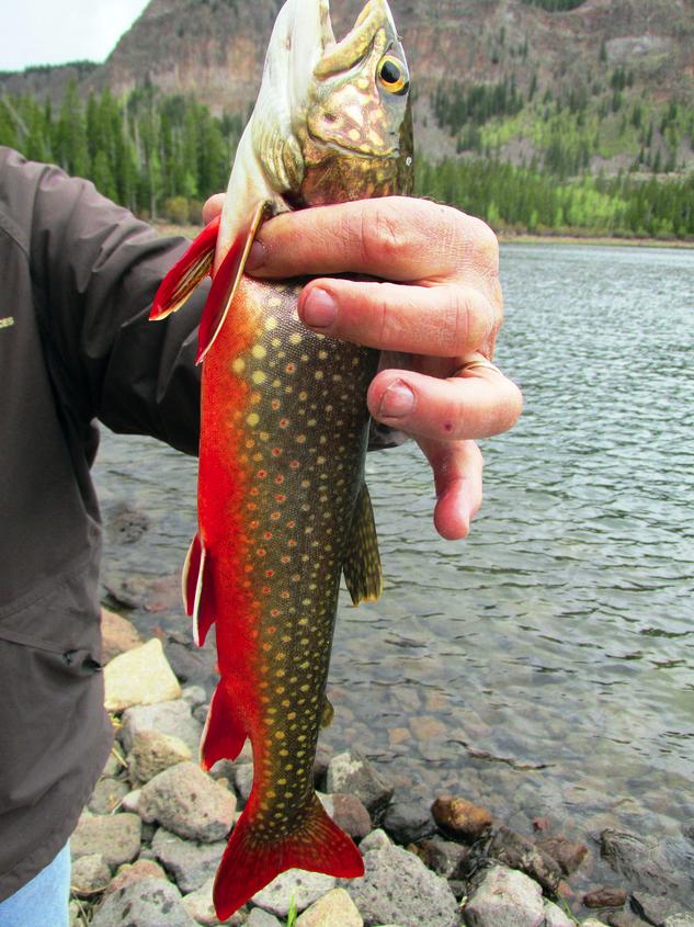 Utah brook trout   Fishing   Pinterest   Angeln, Fischzucht und Fischli