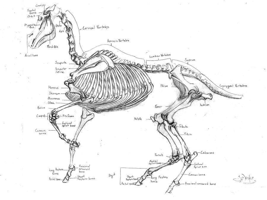 horse skeleton by GreenEyed-Gal.deviantart.com on